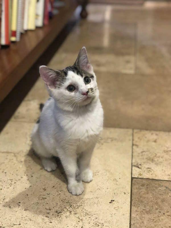 Pixie cat